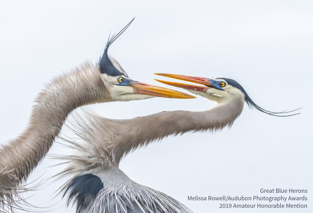 2019 Audubon Winners - Amateur Hon - Great Blue Herons