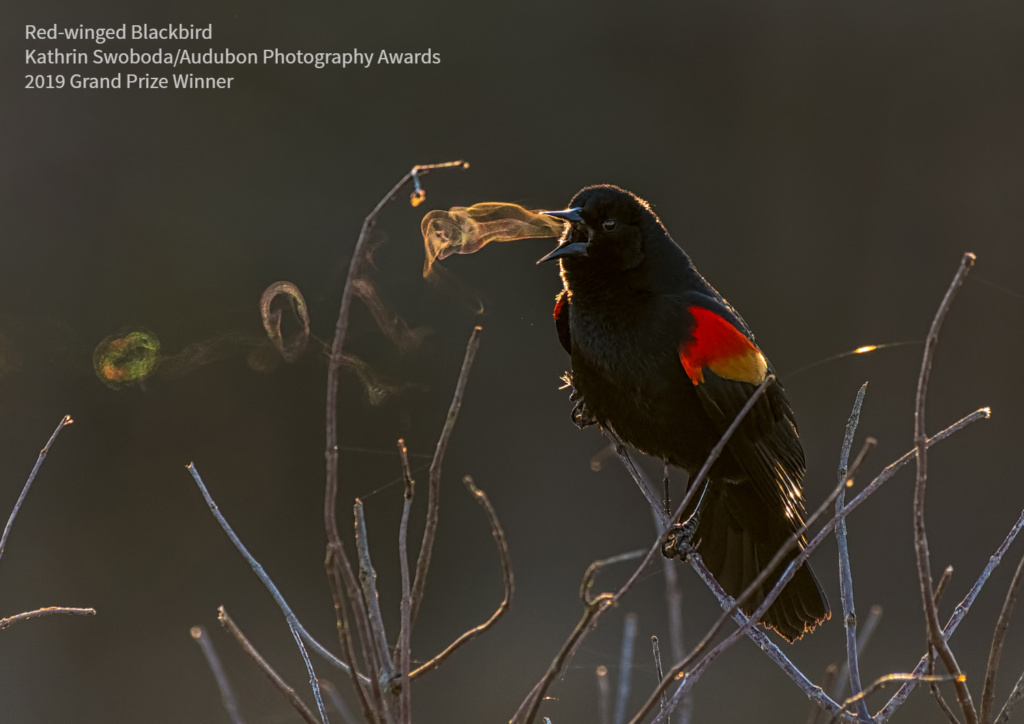 2019 Audubon Winners - Grand Prize - Red-winged Blackbird