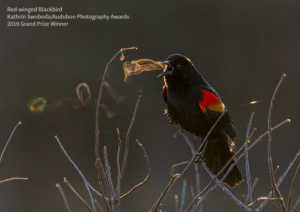 2019 Audubon Winners - Grand Prize - Red-winged Blackbird