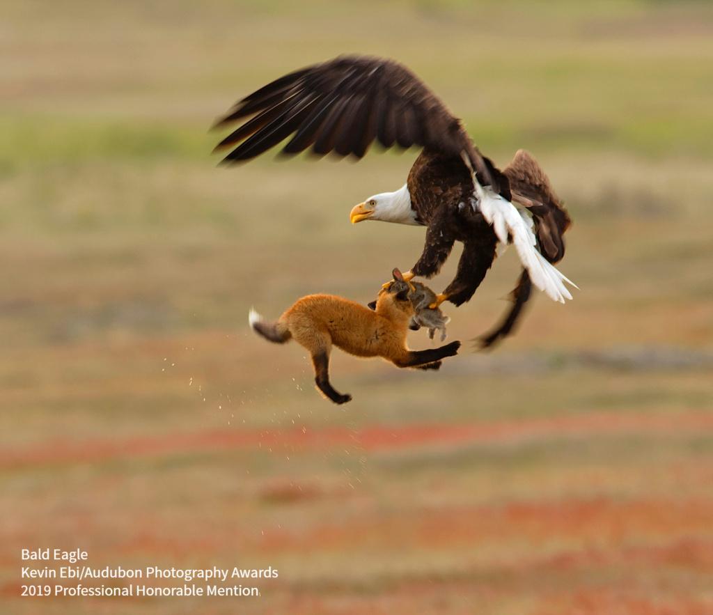 2019 Audubon Winners - Pro Hon - Bald Eagle