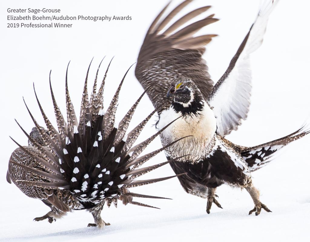 2019 Audubon Winners - Professional Winner - Greater Sage-Grouse
