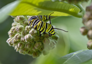 Richard Hook-Monarch Caterpillar on Milkweed, 2019M